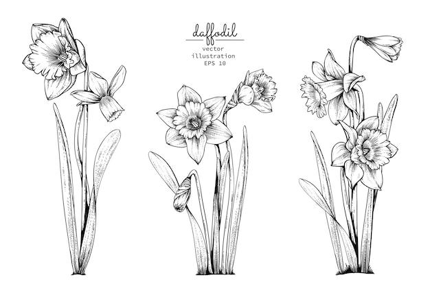Dessins de fleur de narcisse de jonquille.