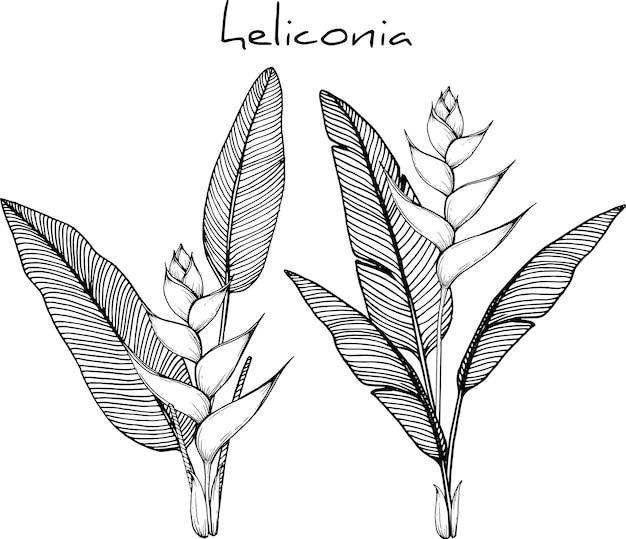 Dessins de fleurs d'héliconia