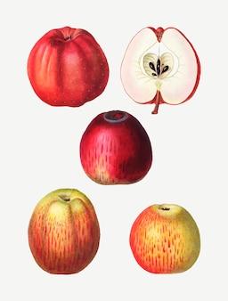Dessins de pommes vintage