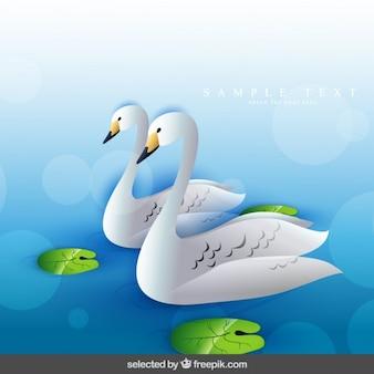 Deux cygnes nageant