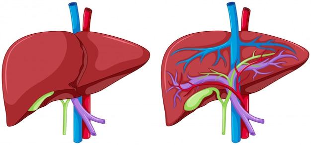 Deux diagrammes d'anatomie du foie