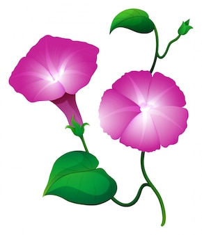 Deux fleurs de gloire du matin en couleur rose