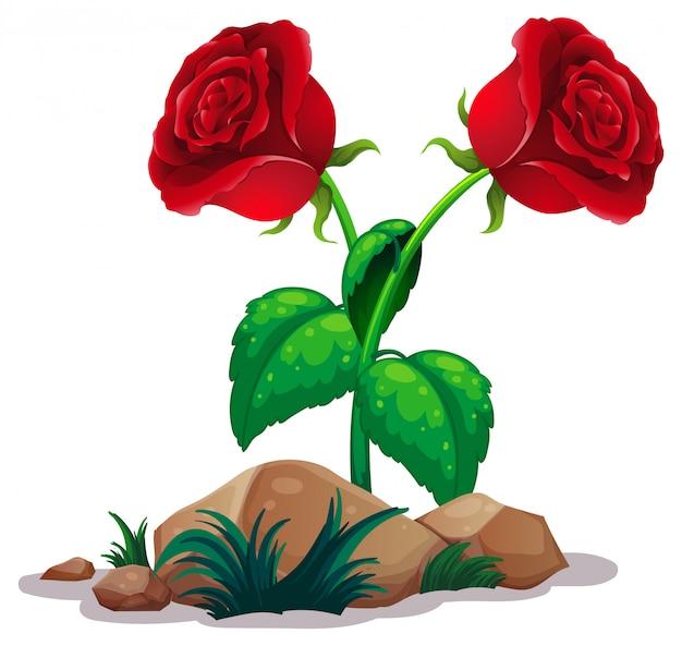 Deux roses rouges sur blanc
