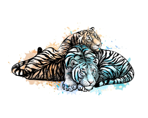 Deux tigres jaunes et blancs d'une éclaboussure d'aquarelle, croquis dessiné à la main. illustration de peintures