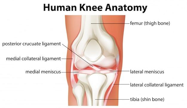 Diagramme d'anatomie du genou humain