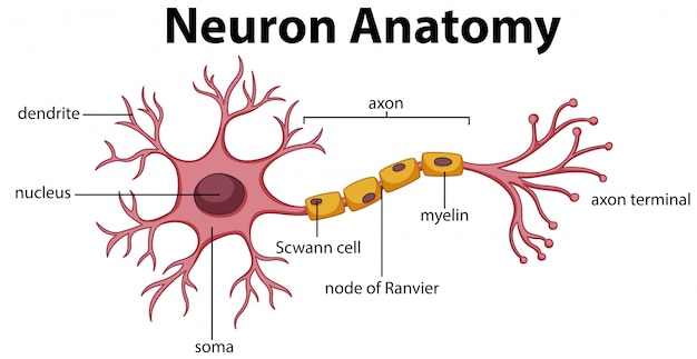 Diagramme de l'anatomie du neurone