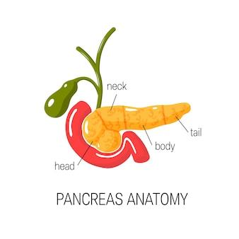 Diagramme d'anatomie du pancréas en style cartoon.