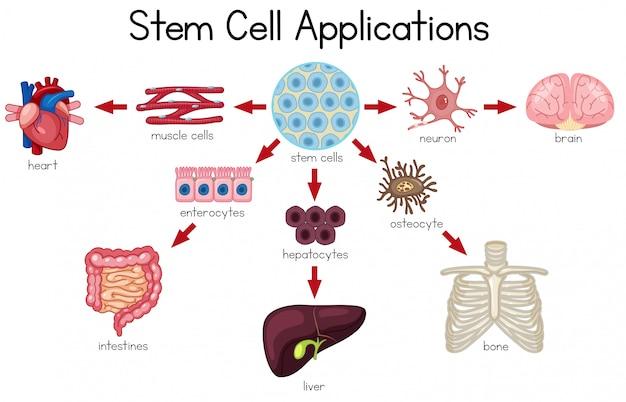 Diagramme des applications de cellules souches