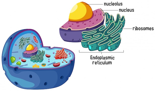 Diagramme de cellule animale agrandie