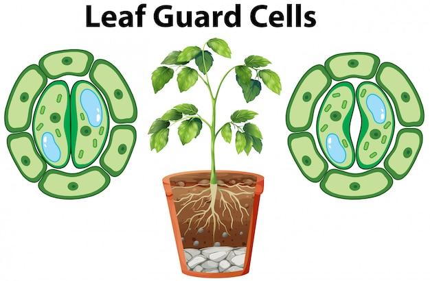 Diagramme montrant les cellules de garde des feuilles sur blanc