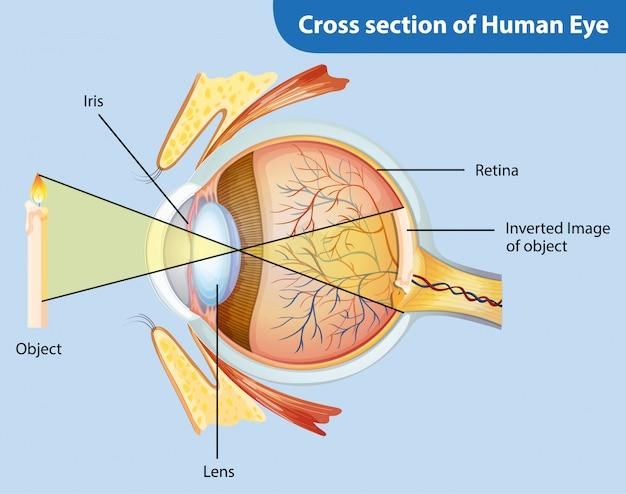 Diagramme montrant la coupe transversale de l'oeil humain