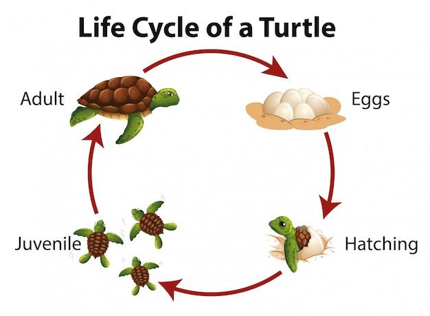Diagramme montrant le cycle de vie de la tortue de mer