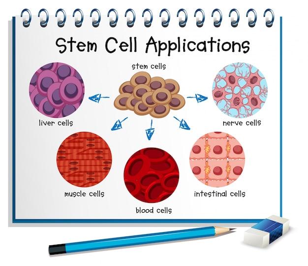 Diagramme montrant différentes applications de cellules souches