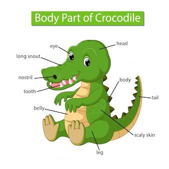 Diagramme montrant une partie du corps d'un crocodile