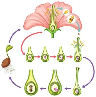 Diagramme montrant des parties de fleur