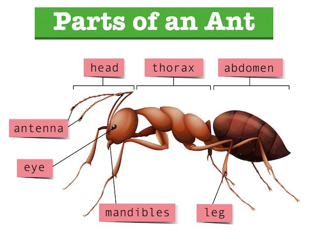 Diagramme montrant des parties de fourmi