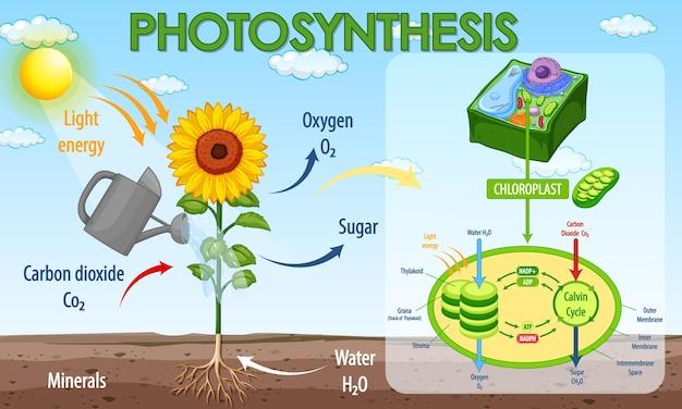Diagramme montrant le processus de la photosynthèse dans la plante