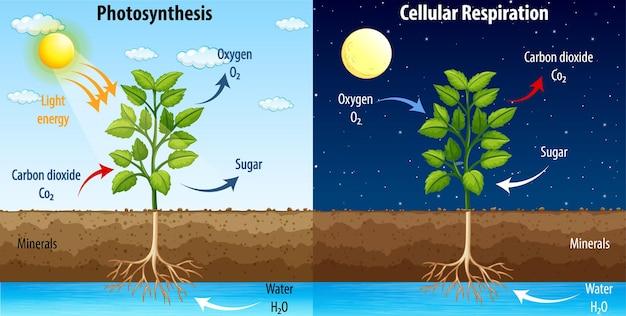 Diagramme montrant le processus de la photosynthèse et de la respiration cellulaire