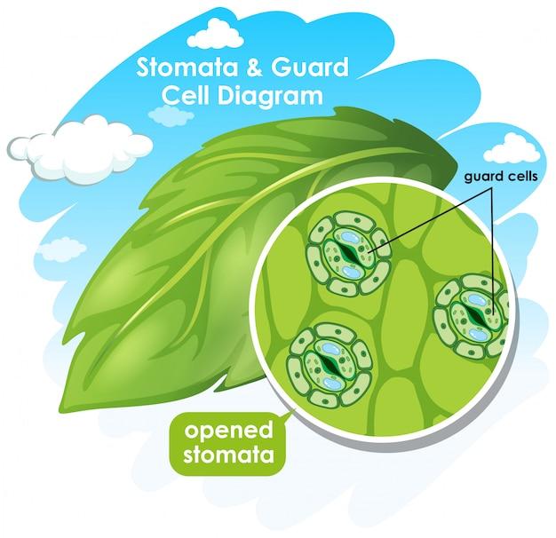 Diagramme montrant les stomates et la cellule de garde