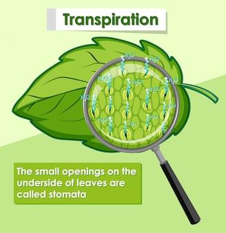Diagramme montrant la transpiration dans la plante