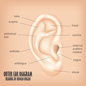 Diagramme de l'oreille externe, écoute de l'organe humain