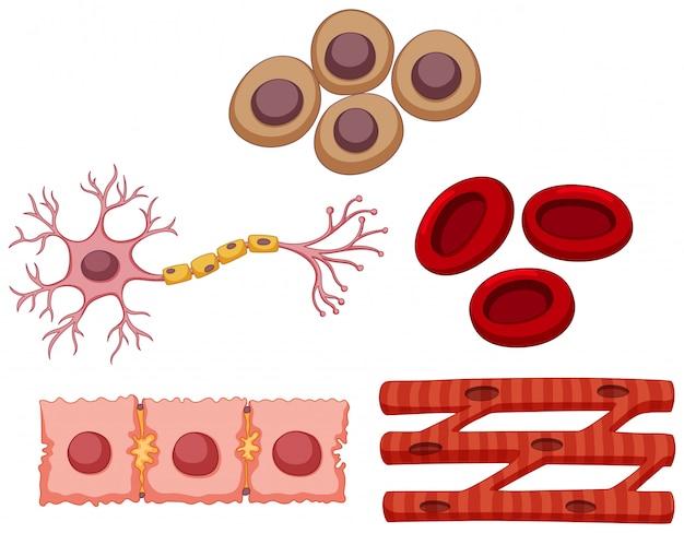 Différents types de cellules souches
