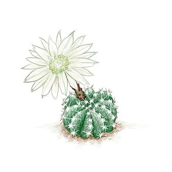 Echinopsis subdenudata domino cactus nuit floraison hérisson pâques lily cactus avec fleur blanche