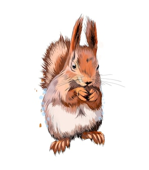 Écureuil roux eurasien d'une éclaboussure d'aquarelle, dessin coloré, réaliste.
