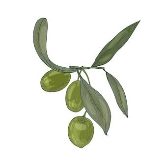 Élégant dessin botanique de branche d'olivier avec des feuilles et des fruits verts crus frais ou drupes isolés sur blanc
