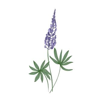 Élégant dessin botanique de fleurs violettes de lupin et de feuilles vertes isolées sur blanc