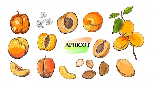 Ensemble d'abricots couleur dessinés à la main isolé sur fond blanc.