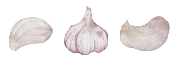 Ensemble aquarelle de gousse d'ail entière isolé sur fond blanc