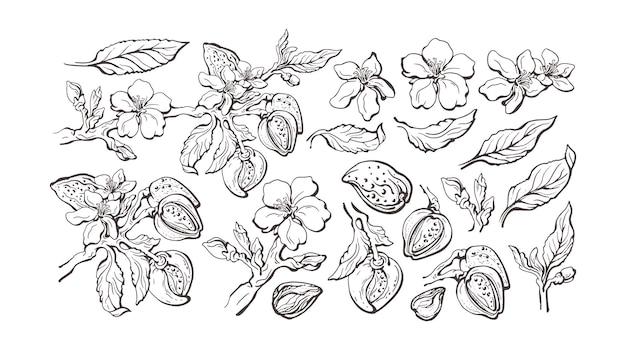 Ensemble aux amandes. noix naturelle, feuille de contour, fleur en fleur. esquisse graphique