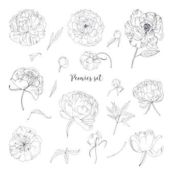 Ensemble de belles pivoines. fleurs, bourgeons et feuilles dessinés à la main. collection d'illustrations en noir et blanc.