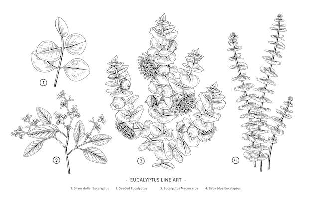 Ensemble de branche d & # 39; eucalyptus botanique