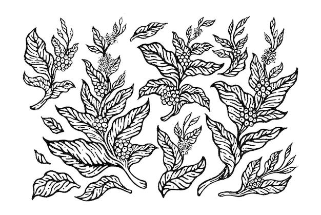 Ensemble de branches de caféier avec des fleurs, des feuilles et des haricots croquis au crayon de style naturel