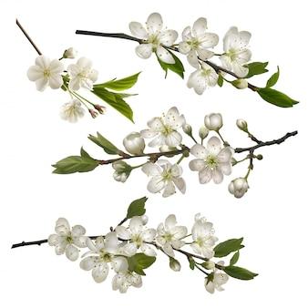 Ensemble de branches de cerisier en fleurs
