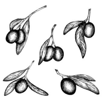 Ensemble de branches d'olives dessinées à la main en vecteur