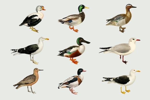 Ensemble de canards dessinés à la main d'oiseaux mélangés de vecteur