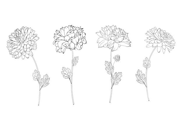 Ensemble de chrysanthème de fleurs de contour noir dessiné à la main sur la tige et les feuilles.