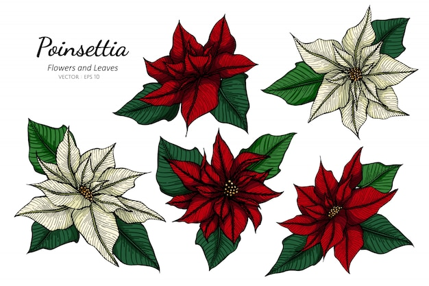 Ensemble de collection de fleur de poinsettia et feuilles dessin illustration.