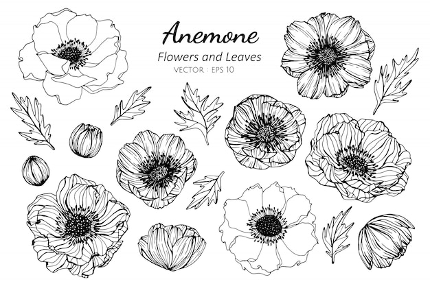 Ensemble de collection de fleurs d'anémone et feuilles dessin illustration.