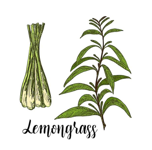 Ensemble de couleurs de citronnelle dessinés à la main illustration d'herbe de thé à la citronnelle détaillée des images de style rétro élément de croquis vintage
