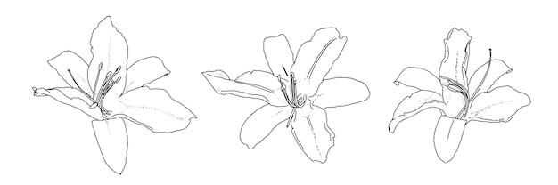 Ensemble de croquis de doodle linéaire à l'oignon lily