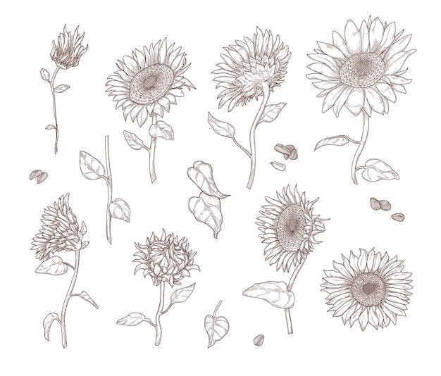 Ensemble de croquis de tournesol monochromes. feuilles de tournesol, tiges, graines et pétales dans un style vintage dessiné à la main