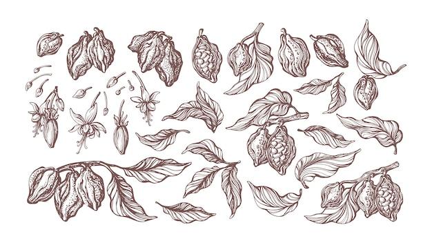 Ensemble dessiné à la main de cacao. croquis botanique. illustration rétro. collection d'isolat