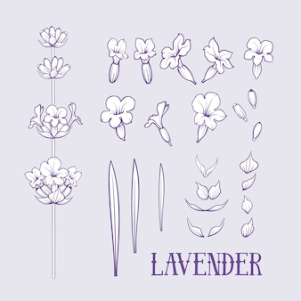 Ensemble d'éléments de fleurs de lavande.