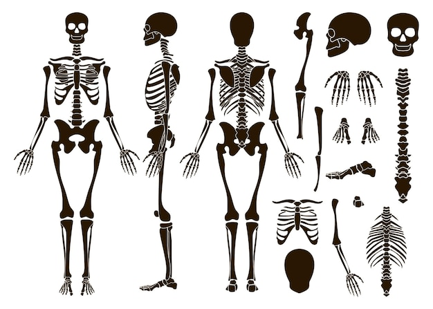 Ensemble d'éléments de structure de squelette d'os humains