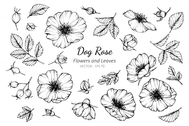 Ensemble de fleur de chien rose et feuilles dessin illustration.