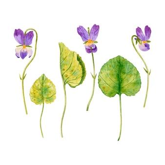 Ensemble de fleurs et de feuilles de violettes aquarelle